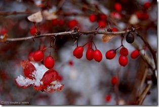 Doug - Snow on Berries
